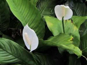 Spathiphyllum 0.1