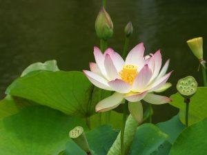 floarea de lotus2