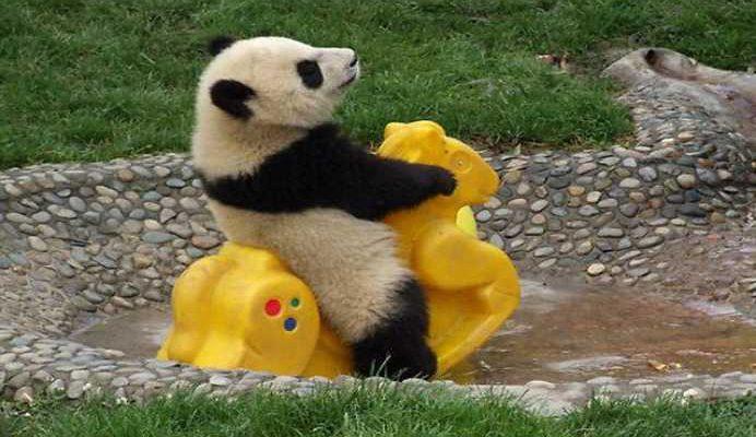 Ce se intampla in momentul in care un urs panda stranuta?