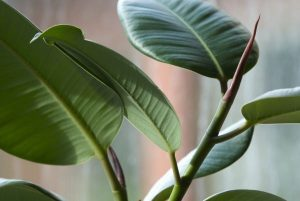 India Rubber House Plant (Ficus elastica),  2006