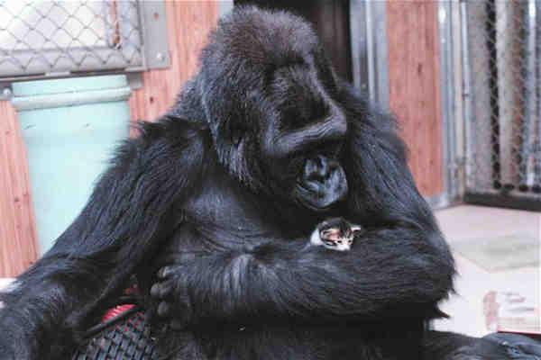 Gorila Koko transmite un mesaj impresionant omenirii folosindu-se de limbajul semnelor!